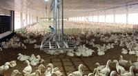 """Giá gia cầm hôm nay 18/4: Vịt thịt miền Nam cao nhất 47.000 đồng/kg, gà trắng """"bốc hơi"""" thêm 2 giá"""