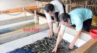 Bình Phước: Nuôi lươn không bùn trong chuồng heo cũ, lươn cuộn hàng đống, thò tay xuống vốc toàn con to