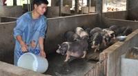 Hà Giang: Bỏ ra 5,5 tỷ đồng nuôi lợn đặc sản đen xì, mỗi năm bán hàng nghìn con vẫn không đủ