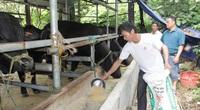 Thái Nguyên: Nông dân đất chè giàu lên nhờ... nuôi bò, hươu