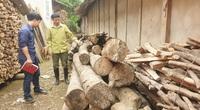 """Lào Cai: Mòn mỏi chờ đợi rồi thất vọng, nhiều hộ dân cay đắng phá bỏ cây """"vàng trắng"""" làm củi"""