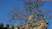 Ly kỳ truyền thuyết nhuốm màu huyền ảo về cây ngô đồng ở đất Cố đô