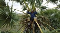 An Giang: Giống dừa nhưng không phải là dừa, cây thân thẳng cao đến 30m, uống vào mát ngọt lịm tỉnh cả người