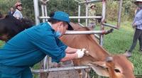 Hà Tĩnh: 120.000 con trâu, bò được tiêm phòng vaccine viêm da nổi cục