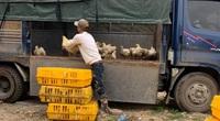 """Giá gia cầm hôm nay 20/4: Người nuôi gà công nghiệp lỗ triền miên, vịt trại lạnh miền Nam """"chạy"""" ra Bắc"""