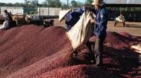 Cảnh báo hiện tượng tụt nước ngầm ở vùng trồng cà phê: Hướng tới sản xuất cà phê có trách nhiệm