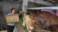 """Làm """"biệt thự"""" nuôi giống bò to bự biết """"né"""" dịch bệnh, một ông nông dân tỉnh Hà Giang kiếm hàng trăm triệu mỗi năm"""