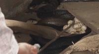 Nuôi hàng nghìn con rắn hổ đất, nông dân Bạc Liêu hốt bạc tỷ mỗi năm