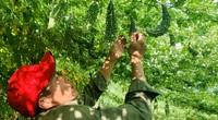 Quảng Bình: Vườn trồng thứ cây ra trái quá trời, treo lủng lẳng đẹp như phim, ông chủ có chiêu đuổi sâu lạ đời