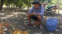 Đang cao điểm thu mua mà giá loại nông sản này rớt sâu, có phải do nhập khẩu tăng 171,5%?