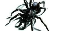 """Loài nhện tarantula mới được tìm thấy có thể sống hàng chục năm và săn mồi bằng cách sử dụng """"cửa sập"""""""