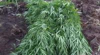 Đắk Lắk: Lại phát hiện một vụ trồng cần sa số lượng lớn