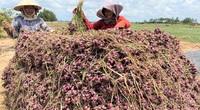 """Hơn 50.000 tấn hành tím không bán được, nông dân Sóc Trăng """"kêu cứu"""""""
