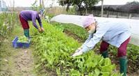 Trồng rau hữu cơ ở Hà Nội: Cần thêm hỗ trợ hạ tầng và liên kết sản xuất