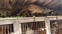 Cà Mau: 150 con chồn nuôi chết bất thường, UBND huyện Ngọc Hiển khuyến cáo người dân điều này