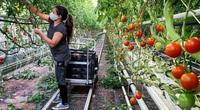 Bên trong vườn rau sân thượng rộng bằng 3 sân bóng, trồng cả trăm loại cung cấp hàng chục tấn rau mỗi tuần
