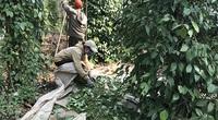 Đắk Lắk: Giá tiêu tăng dân vùng đất này vừa mừng thì lại đã lo sốt vó bởi cây tiêu đang mắc bệnh dịch gì?