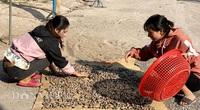 Nghịch lý ở thủ phủ điều Bình Phước: Nhà máy thiếu nguyên liệu, nông dân vẫn trầy trật lo đầu ra