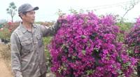 Vào tổ hội, nông dân Phù Đổng trồng hoa giấy nhanh giàu