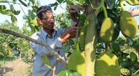 Phú Yên: Ngắm vườn mít Thái ra trái to đẹp trên đồi hoang của ông nông dân U70