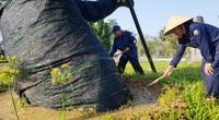 """Sau 5 tháng """"cấp cứu"""", cây xà cừ hơn 100 năm tuổi ở Huế đã mọc đầy chồi biếc, ai xem cũng trầm trồ"""