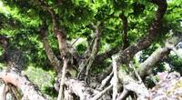 Đăk Lăk: Cây sanh cổ rong rêu phủ đầy có chu vi bộ rễ 10m, cao 3,7m, trả giá nào chủ cũng lắc đầu