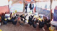 Nuôi thứ gà đen từ lông đến nội tạng, vừa ăn vừa làm thuốc, người Mông ở Lũng Cú làm giàu nhanh