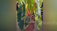 Kiểng đột biến trổ ra các nhánh lá, cành và thân có tỷ lệ bất thường giá 1,2 tỷ đồng