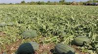 Bình Thuận: Trồng dưa hấu trái vụ ở Đức Linh, bà con nông dân được mùa, trúng giá