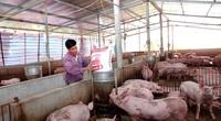 """Chủ động về lợn nái, nhiều tỉnh tái đàn nhanh, các """"ông lớn"""" bán hàng nghìn con lợn mỗi ngày"""