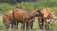 Đã tìm ra nguyên nhân bò chết hàng loạt tại Gia Lai