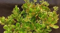 4 loại cây phong thủy giữ ấm êm, gọi tài lộc cho gia chủ