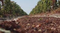 Tận mắt xem cách sấy nho khô nguyên cành của Úc