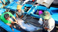 """Bình Định làm gì để tiêu thụ hàng nghìn tấn cá ngừ đại dương """"khủng"""", nhiều con nặng cả tạ?"""