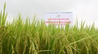 """Bình Định: Trồng lúa BC15 mới năng suất đạt tới 80 tạ/ha, nông dân chỉ bán giống cũng """"ăn"""" đủ"""