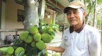 Cây mít lạ ở tỉnh Bến Tre ra 200-300 trái, trái chín thơm khắp xóm làng, vì sao vẫn chưa nhân giống được?