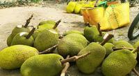 Giá mít Thái hôm nay 13/5: Vẫn giữ được mức 11.000 đồng/kg, người trồng mít, lái cắt mít và vựa mít chung 1 nỗi lo