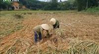 Nghệ An: Giông lốc bất ngờ khiến hàng ngàn ha lúa đổ rạp, bà con nông dân khóc ròng