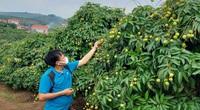 Nhật Bản chính thức ủy quyền giám sát xuất khẩu loại nông sản này cho Việt Nam, nông dân đợi thời thu nghìn tỷ