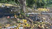 Đồng Nai: Chưa bao giờ cuối vụ rồi mà giá xoài vẫn lẹt đẹt 4.000 đồng/kg, nhà vườn vứt cả đống dưới gốc