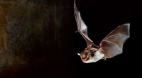 Con người cũng có khả năng định vị bằng âm thanh giống như loài dơi?