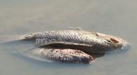 Quảng Trị: Cá chết quanh KCN Quán Ngang, ngành chức năng trả lời thế nào?