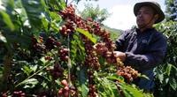 Giá cà phê tăng mạnh, dự báo giá cà phê tiếp tục tăng vì thiếu hụt toàn cầu