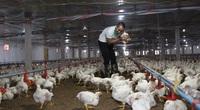 Giá gia cầm hôm nay 17/5: Giá gà công nghiệp bất ngờ tăng nhanh, vịt thịt vẫn bán chậm