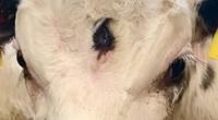 Có ngoại hình đặc biệt, con bê cực hiếm sinh ra có con mắt thứ ba ở ngay giữa trán