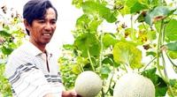 Hậu Giang: Nông dân chơi lớn mang công nghệ Israel về trồng ra thứ dưa ngọt lịm, bán đắt hàng