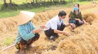 Long An: Ra đồng trồng nấm rơm ăn ngọt lừ, hái bán đắt như tôm tươi