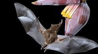 Dơi mũi dài hút mật của loài hoa chỉ nở một lần mỗi năm