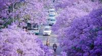 Hình ảnh choáng ngợp vì con đường được nhuộm tím bởi loài hoa này