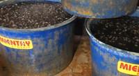 """TP.HCM: Khủng khiếp với cơ sở dùng hóa chất ngâm cả tấn thịt ốc bươu trước khi """"xuất xưởng"""""""